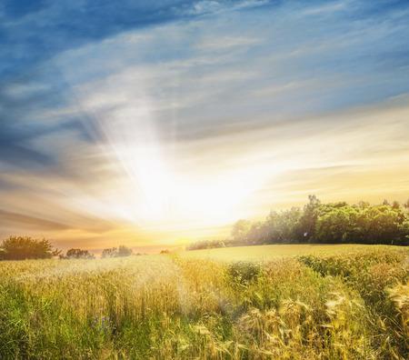 ライ麦、日没の風景でフィールド 写真素材
