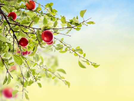 prunus cerasifera: Red Plum branch on sky background in garden
