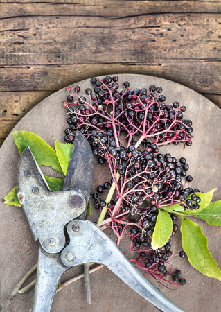clipper: Elderberry and vintage clipper on wooden table Stock Photo