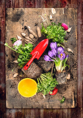 red soil: Flowers potting with red gardening scoop, roots and soil, on rustic wooden background, top view composing Stock Photo