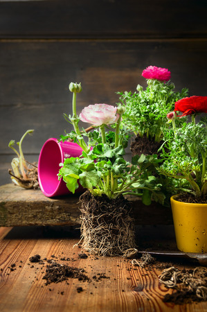 buttercup: Pink and red buttercups potting on rustic wooden background