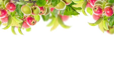 apfel: Apfelzweig mit �pfeln und Bl�ttern, Banner f�r Website, isoliert auf wei�em Hintergrund