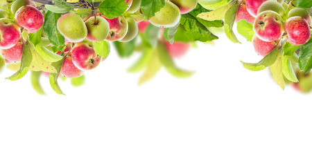 manzana: Rama de Apple con las manzanas y las hojas, la bandera para el sitio web, aislados en fondo blanco