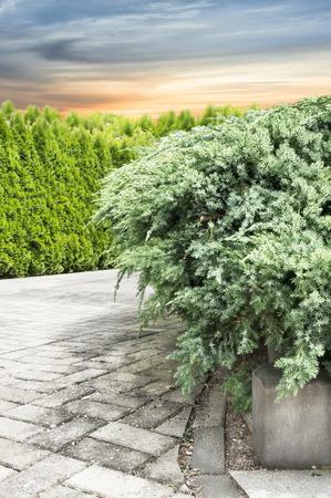 juniper: Juniper conifers in garden