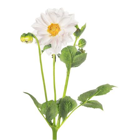 dalia: Blanca flor de la dalia, aislado Foto de archivo