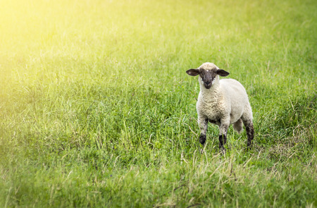 bleating: lamb on pasture