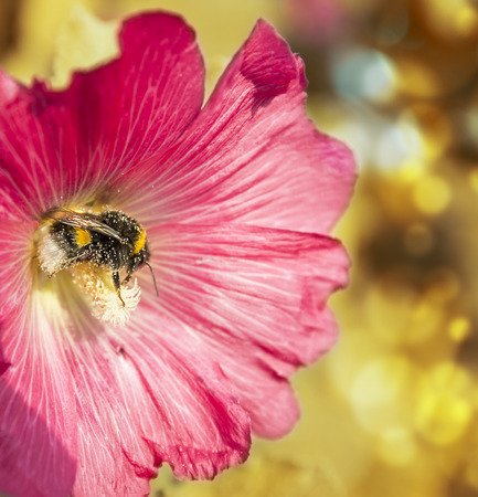 mallow: Bumble bee in flower mallow