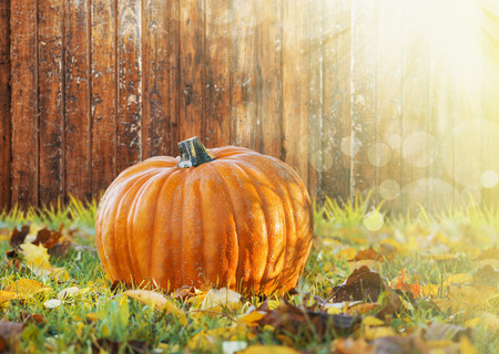 large pumpkin: Big pumpkin on wooden fence in grass with autumn foliage in sunlight, fall background