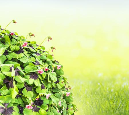 trefoil on bokeh background in garden grass photo