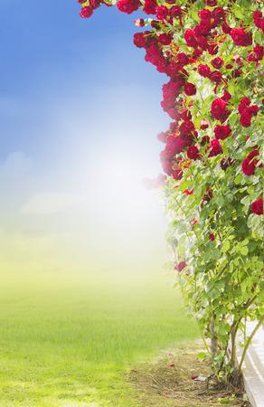 rambler: Red climbing  rose Stock Photo