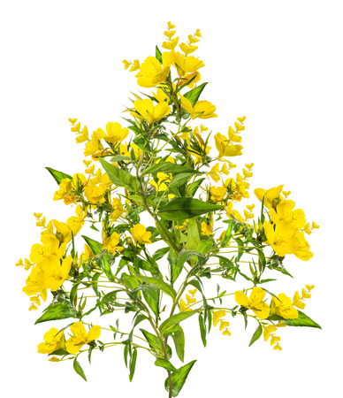 oenothera biennis: bunch of yellow flowers, isolated on white background