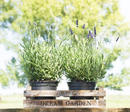 urban gardening: Lavender in old wooden box on table in garden