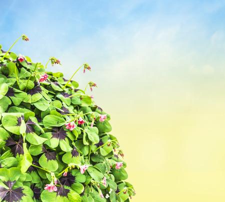 clover on blue sky background photo
