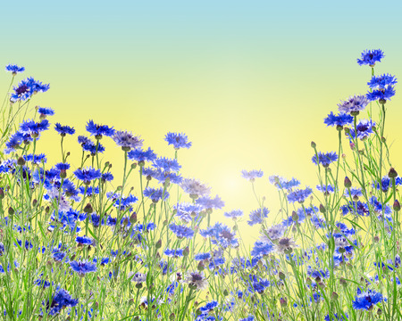 bluebonnet: Flowers background with cornflower