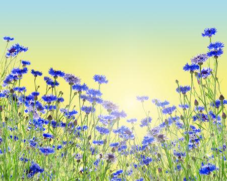 bluet: Flowers background with cornflower