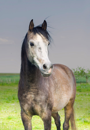 gray horse: Portrait of gray horse in cloudy weather in pasture
