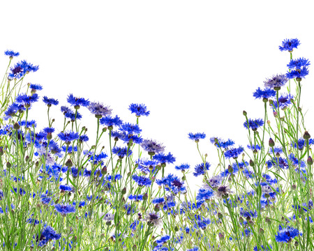 bluebonnet: blue cornflower field, isolated on white background