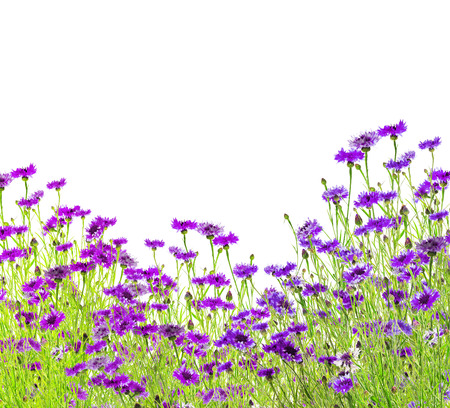 centaurea: lilac cornflower field, isolated on white background