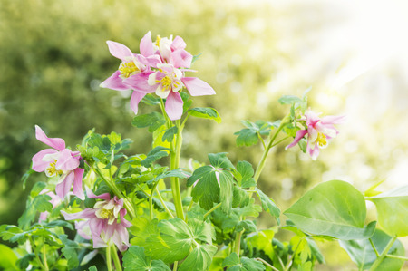 pink columbine: pink columbine flowers in sunny garden, floral background