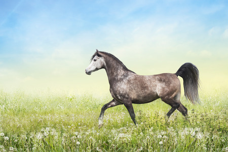 trot: horse running trot on pasture summer on sunny sky background