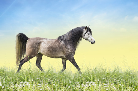 trot: Horse running trot on summer field with dandelion flowers