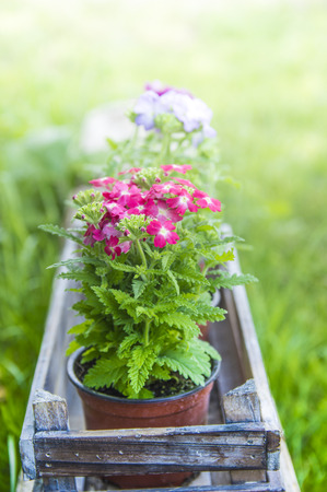 Flowers in pots in wooden box on background of garden in sun