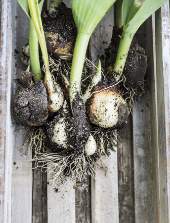 dug: tulip bulbs dug with leaves in wooden box Stock Photo