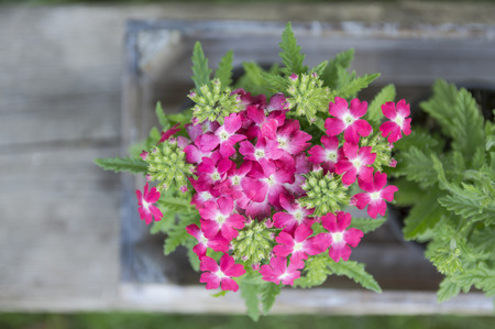 Pink verbena flowers on wooden table in garden, top view photo