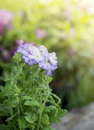 path cottage garden: Blue flowers on garden background Stock Photo