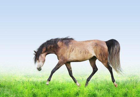 trot: Horse on green field running trot forward and downward on blue sky background Stock Photo
