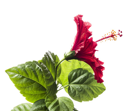 red hibiscus flower with stem and leaves, isolated on white background Stock Photo