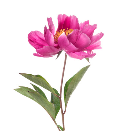 peony: Simple pink peony flower, isolated on white background Stock Photo