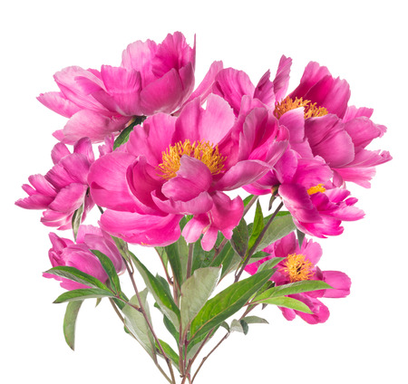 Bouquet of pink peonies with yellow stamens, isolated on white background