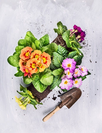 Summer flowers gardening on gray wooden background with shovel, top view Stok Fotoğraf
