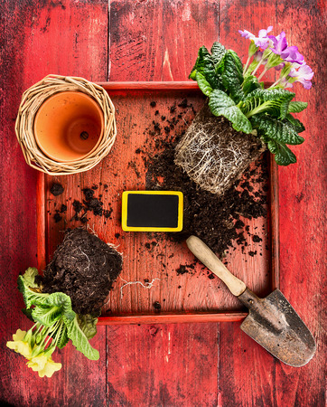 primula: Primula potting with flower pot, scoop,soil and sign on red wooden background, top view Stock Photo