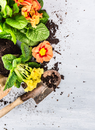 primulas: Primrose flowers with soil und scoop on gray wooden, gardening background Stock Photo