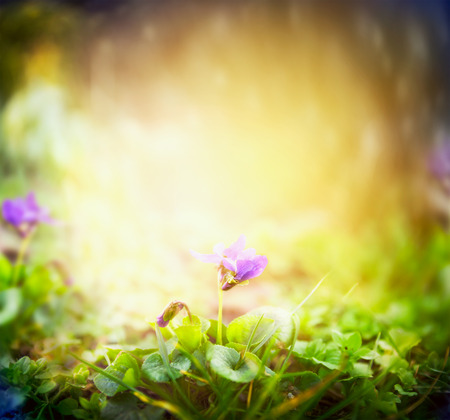 Wild violets on blurred multicolored nature garden background 스톡 콘텐츠
