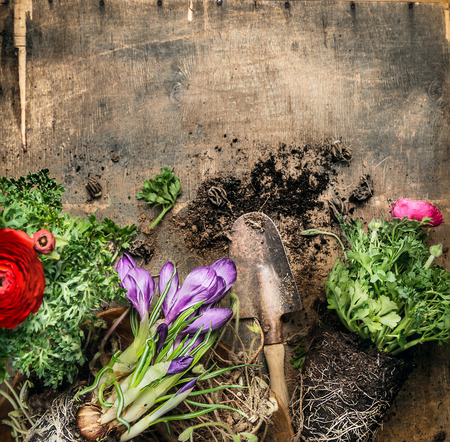 Spring gardening with scoop on rustic wooden background, top view, place for text