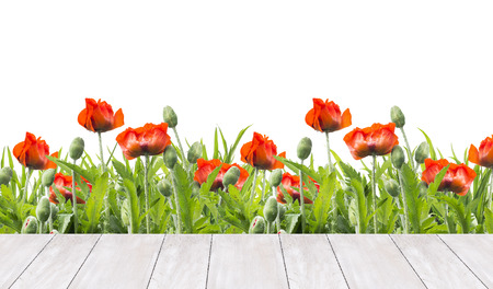 flower bed: red poppies border and  white wooden terrace, isolated on white background