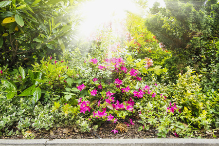 ornamental shrub: hedge with rhododendron bloom and ornamental shrubs in  sunlight