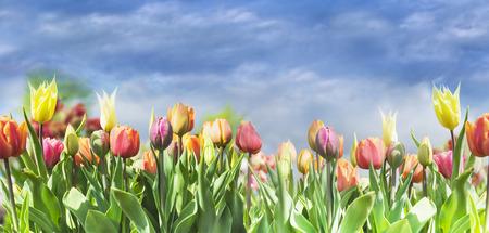空の背景、選択と集中に色とりどりのチューリップが咲く