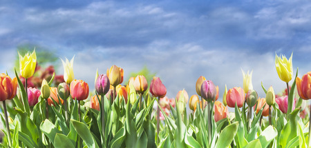 blooming colorful tulips on sky background, selective focus 스톡 콘텐츠