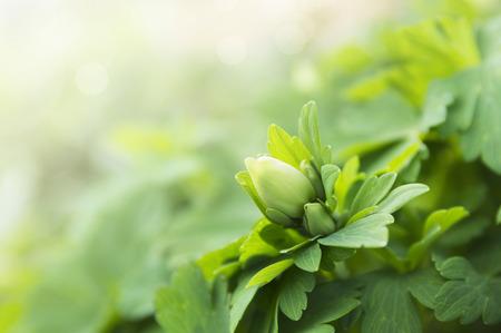 sun  flower: Green Spring bud  of flower on bokeh background