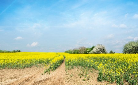 mustard field: flowering rapeseed field against  blue sky with clouds