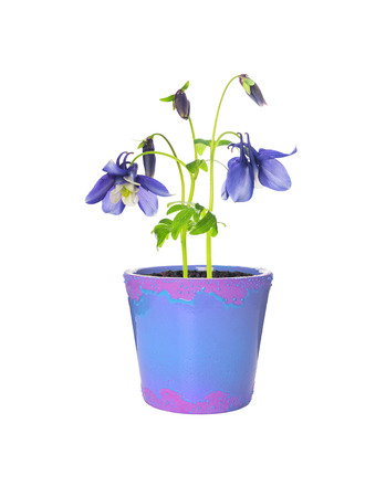 pink columbine: refined blue columbine flowers in Flowerpot, isolated on white Stock Photo
