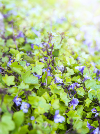 groundcover: Background of groundcover plant with small blue flowers, toning Stock Photo