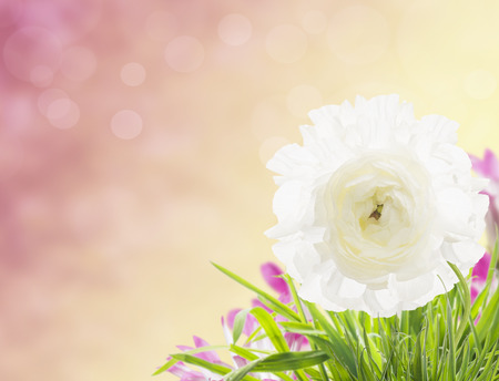buttercup flower: white buttercup flower on pink background with bokeh