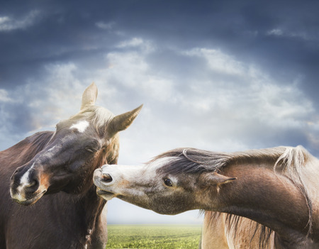 Two horses playing close-up on background cloudy sky