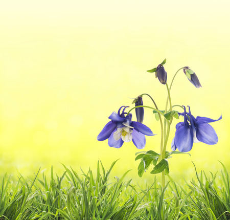 aquilegia: reflect columbine flowers in grass on sunny yellow background with Stock Photo