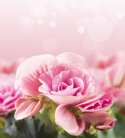 red rose bokeh: begonia on pink background with bokeh